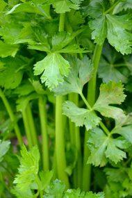 Celery & Celeriac